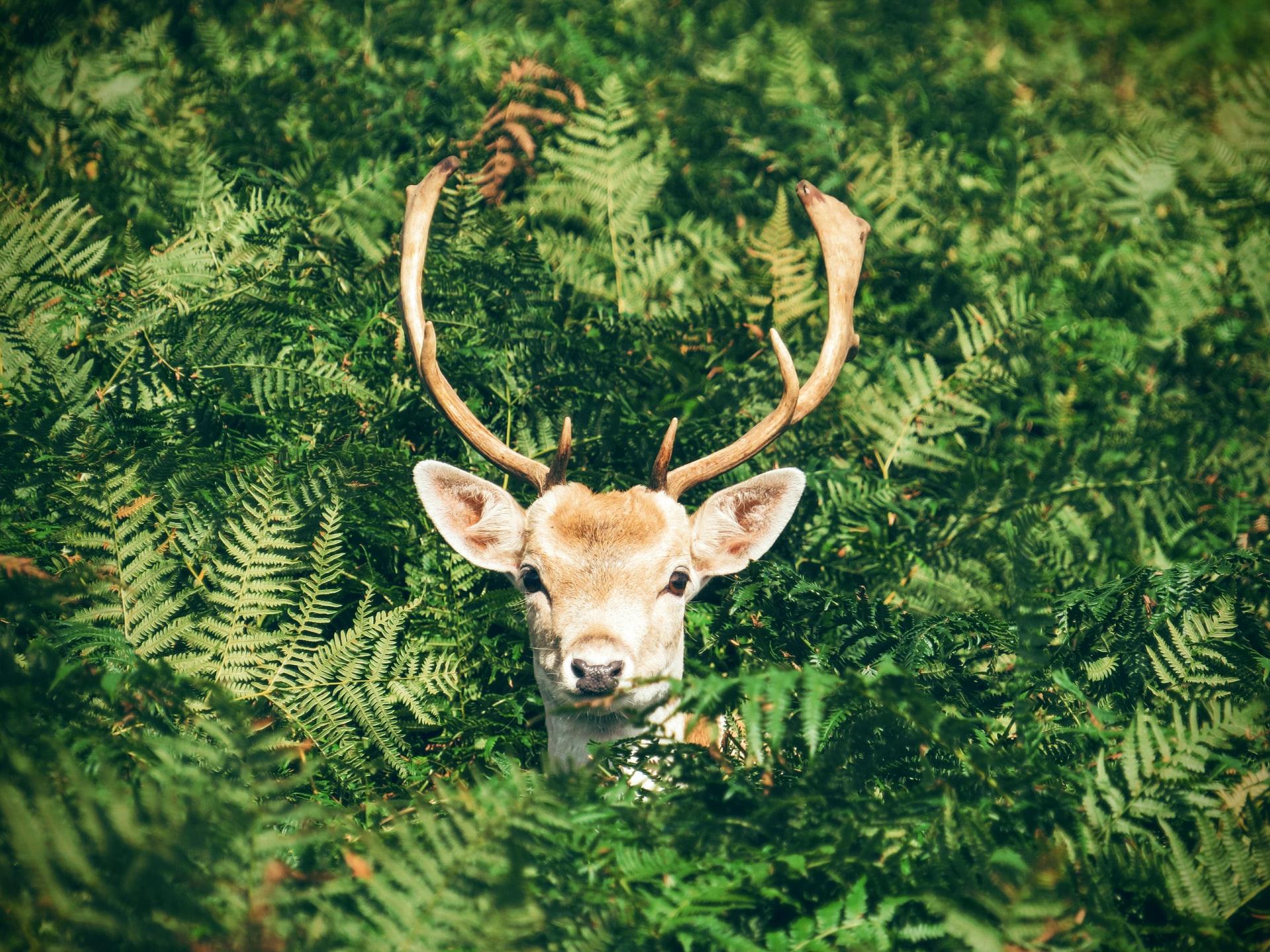 草木からのぞく鹿の写真