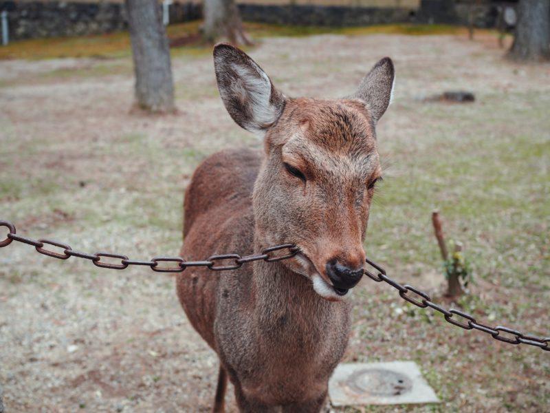 鎖を噛む鹿